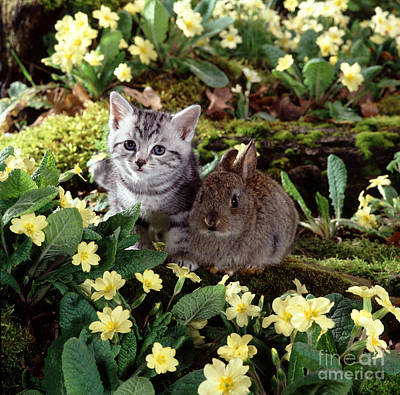 Animal Portraiture Photograph - Tabby Kitten And Wild Rabbit by Jane Burton