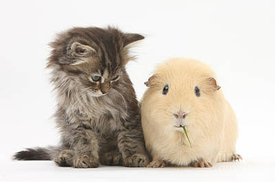 Photograph - Tabby Kitten With Yellow Guinea Pig by Mark Taylor