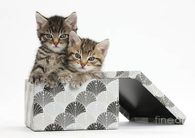 Baby In Basket Photograph - Tabby Kittens In Gift Box by Mark Taylor