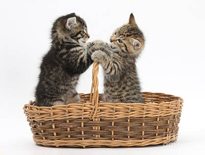 Photograph - Tabby Kittens Playing In Basket by Mark Taylor