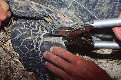 Tagging A Turtle Print by Alexis Rosenfeld