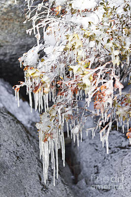 Tahoe Bush Icicles Art Print