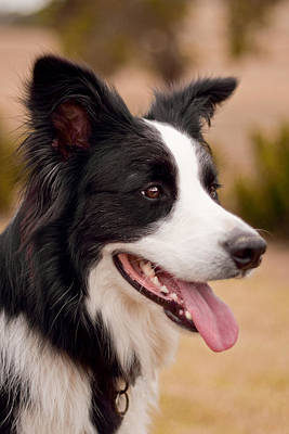 Taj - Border Collie Profile Art Print