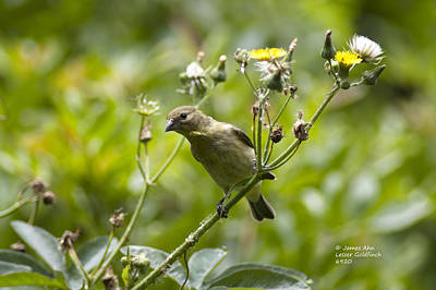 Photograph - Take A Look - Lesser Goldfinch by James Ahn