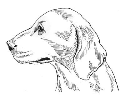 Drawing - Talbot Hound by David Burkart