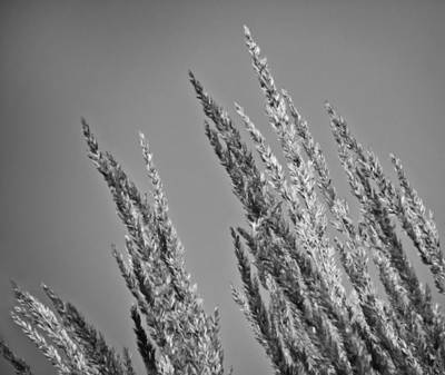 Photograph - Tall Grass In Black And White by Eva Kondzialkiewicz