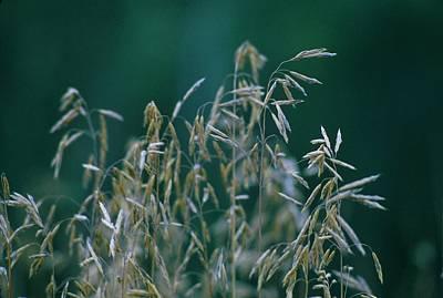 Tall Grass Seeds Print by Jaye Crist