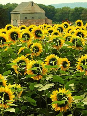 Art Print featuring the photograph Tall Sunflowers by John Scates