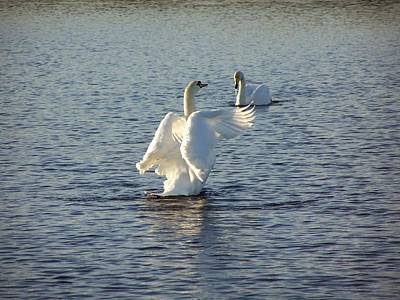 Photograph - Tall Swan by George Leask