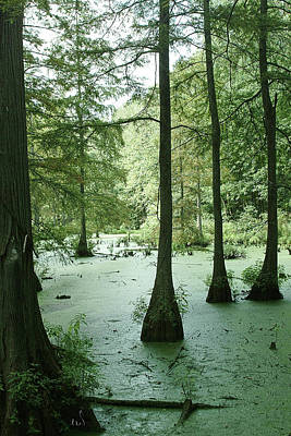 Photograph - Tall Trees Cypress And Duckweek Greys And Green by Michael Flood