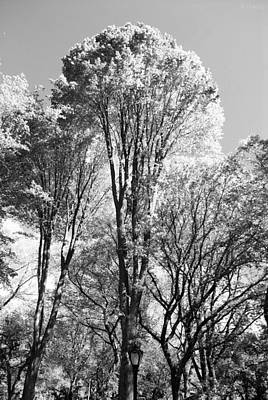 Tall Trees In Central Park In Black And White Art Print