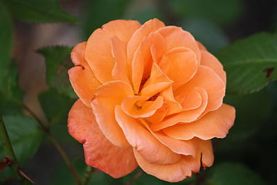 Art Print featuring the photograph Tangerine Rose by Donna  Smith
