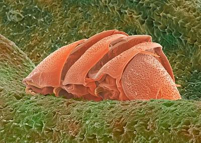 Tardigrade, Sem Art Print by Power And Syred