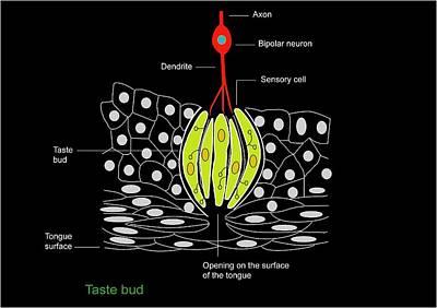 Taste Bud Anatomy, Diagram Art Print by Francis Leroy, Biocosmos