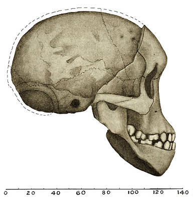 Taung Child Skull Art Print by Sheila Terry