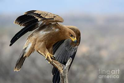 Photograph - Tawny Eagle by Alan Clifford