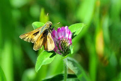 Photograph - Tawny-edged Skipper by Alan Lenk