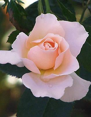 Photograph - Tea Cup Rose by Ernie Claudio