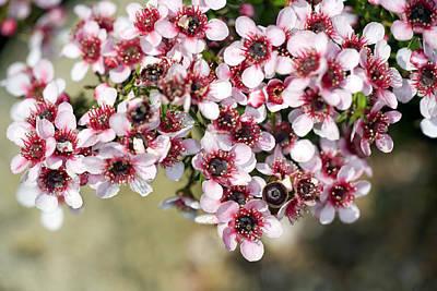 Tea Tree Flower Photograph - Tea Tree (leptospermum Scoparium) by Dr Keith Wheeler