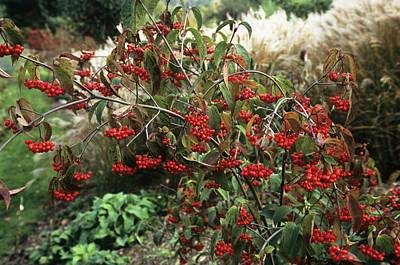 Viburnum Photograph - Tea Viburnum (viburnum Setigerum) by Adrian Thomas