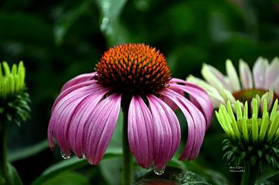 Photograph - Tears Of A Coneflower by Maria Urso