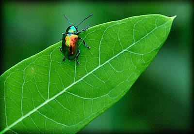 Target Threshold Nature Rights Managed Images - Technicolor Beetle 1 Royalty-Free Image by Mark Fuller