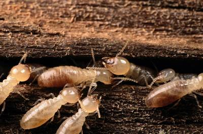Termites Print by George Grall