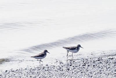 Photograph - Tern Dip by Karol Livote