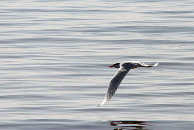 Photograph - Tern Flyby by Mark J Seefeldt