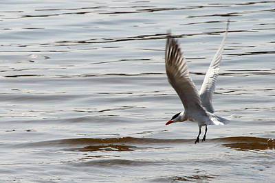 Photograph - Tern Landing by Mark J Seefeldt