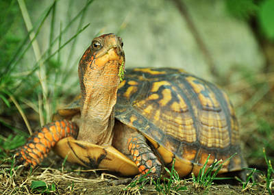 Photograph - Terrapene Carolina Eastern Box Turtle by Rebecca Sherman