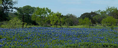Photograph - Texas Bluebonnet Field by Helen Haw