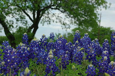 Photograph - Texas Bluebonnets by Robyn Stacey