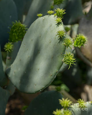 Photograph - Texas Cactus by Michael Flood
