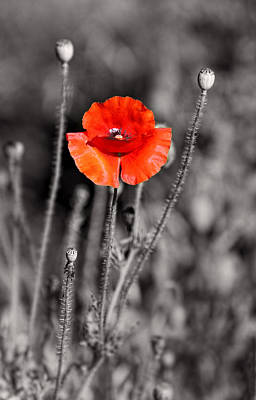 Texas Hot Poppy With Black And White Art Print by Linda Phelps