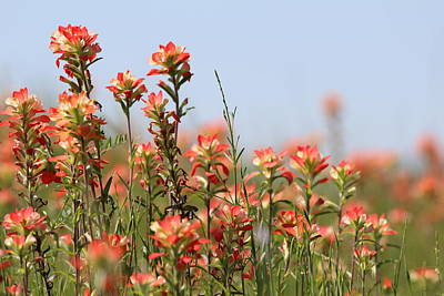 Photograph - Texas Indian Paintbrush by Elizabeth Hart