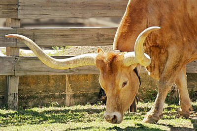 Primitive Photograph - Texas Longhorns - A Genetic Gold Mine by Christine Till
