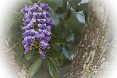 Photograph - Texas Mountain Laurel by Kim Henderson