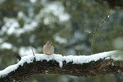 Texas Snow Bird Original by Bill Morgenstern