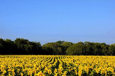 Texas Sunflower Field Original by Paul Huchton