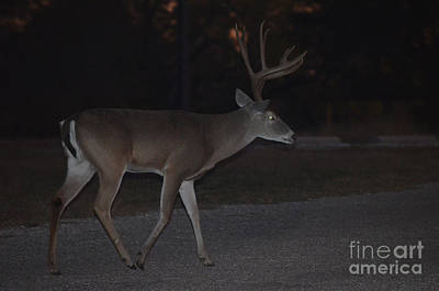Photograph - Texas Whitetail Deer by Donna Brown
