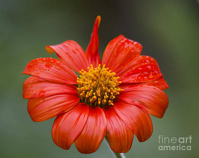 Photograph - Thai Flower In Glorious Orange #2 by Nola Lee Kelsey