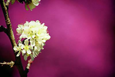 Cherry Blossoms Photograph - Thai Sakura by Ampamuka