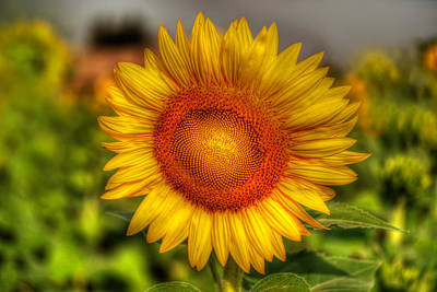 Thai Sunflower Print by Adrian Evans