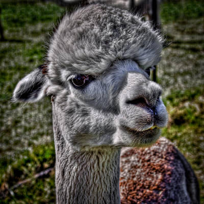 Photograph - The Alpaca by David Patterson