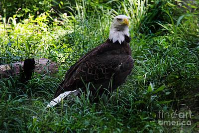 Photograph - The American Bald Eagle IIi by Lee Dos Santos