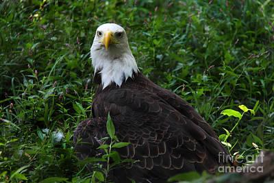 Photograph - The American Bald Eagle Iv by Lee Dos Santos