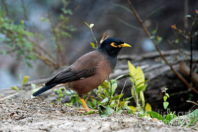 Common Myna Photograph - The Angry One by Pravine Chester