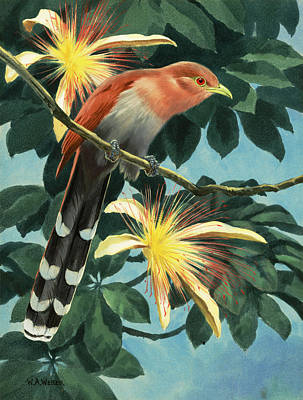 The Artist Shows A Squirrel Cuckoo Art Print by Walter A. Weber