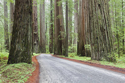 The Avenue Of The Giants A Winding Art Print by Douglas Orton